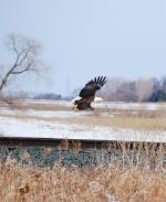 Northbound Eagle
