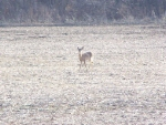 The Other Whitetail Deer Has Spotted Me!