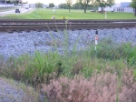 weeds by the tracks