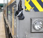 Bird loses battle with train