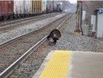 Turkey Meets Railroad Tracks