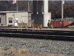 Deer crossing KCS yard