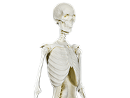 Anatomy + Movement Skeleton product thumbnail