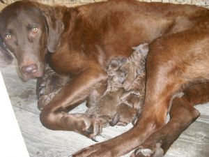 akc chesapeake bay retriever puppies 91 88 miles breed chesapeake bay ...