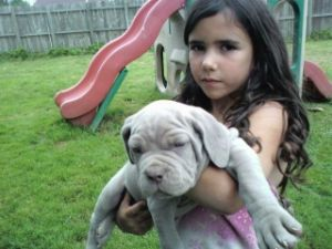 neo mastiff puppies 323 72 miles breed neapolitan mastiff 249 location ...