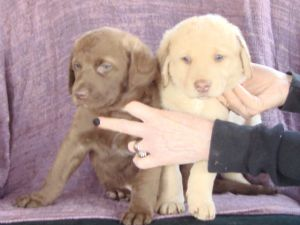 AKC Chesapeake Bay Retriever Pups Sire & Dam on Site 173.75 miles