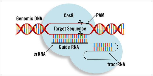 CRISPr/CAS 9 is identified and described