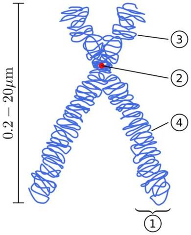 Thomas Hunt Morgan proposesd that genes are arranged in a line on the chromosomes.