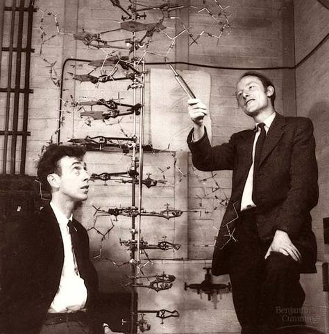 James Watson and Francis Crick determined that DNA was a double helix made of two polynucleotide strands