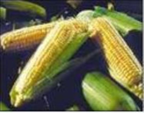 corn domestication essay Evidence of early domestication of plants is found at archeological sites in missouri, illinois, indiana, ohio, arkansas, tennessee, and kentucky starting about 4,000 years ago (around 2000 bc) about 1,000 years ago (around 1000 ad), additional domesticated species - corn, beans, and a new form of squash - were.
