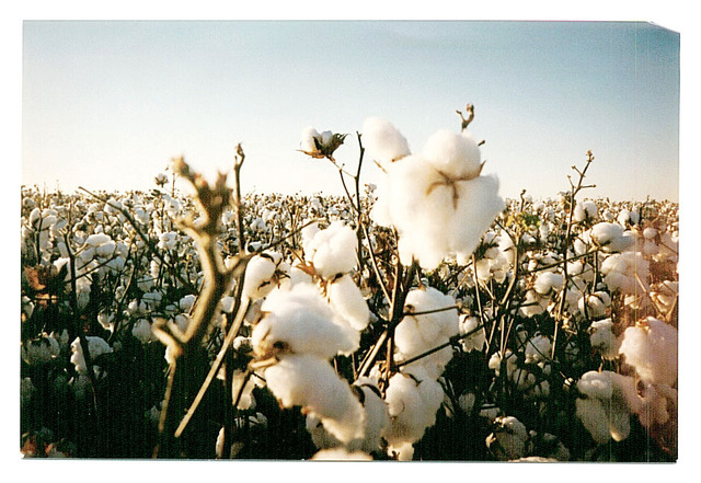 Cotton- Dominate Crop