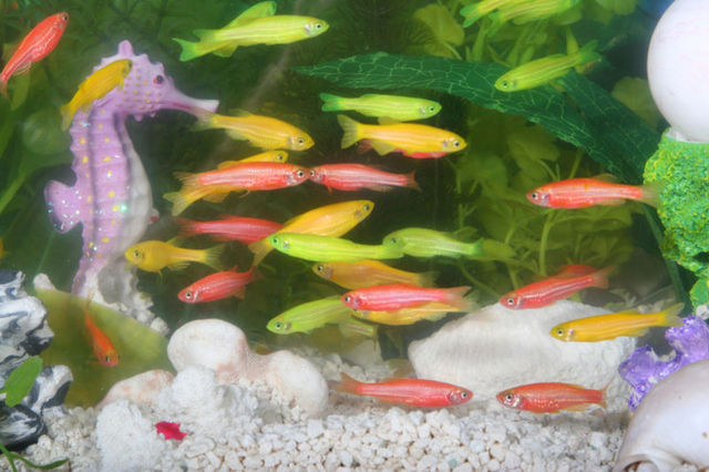First genetically engeneered pets GloFish!