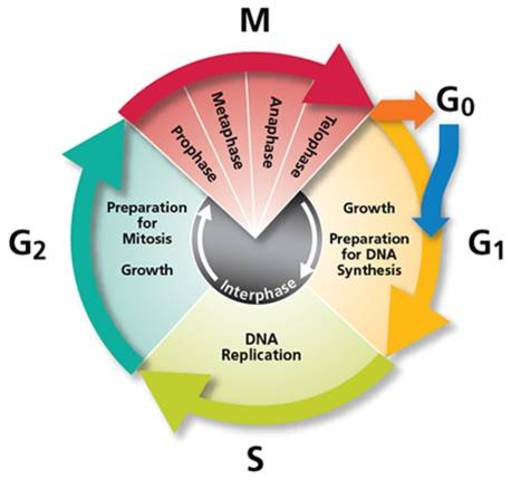 the phases of the cell cycle of humans Cellular reproduction cell division in chromosomes in humans is 46 and is the cell cycle the cell cycle has four phases or sectiods the.