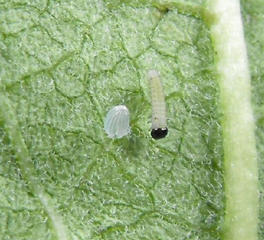 Larvae hatches