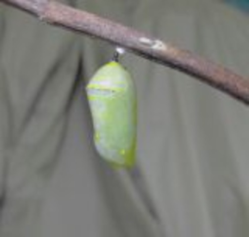 The Pupa or Chrysalis Stage