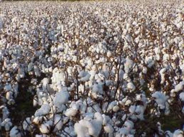 The Missions at San Antonio Produce Cotton