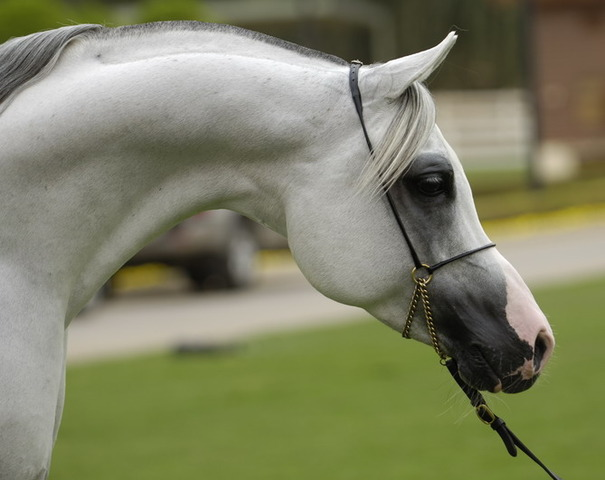 Arabian Horse Registry of America