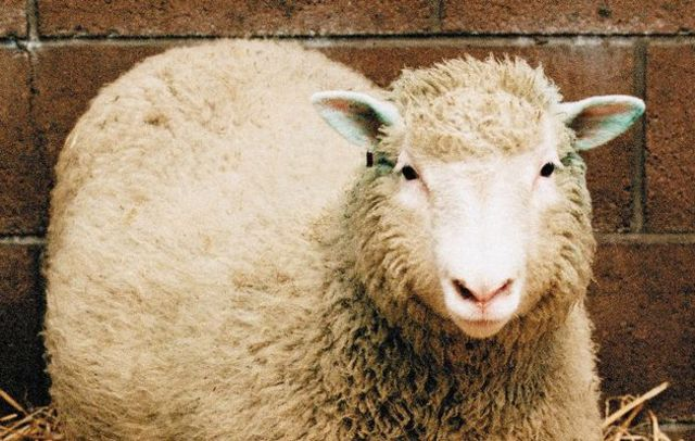 an overview of the genetic replica of the sheep named dolly One of the telltale signs of cellular age are the lengths of the so-called when the telomeres of dolly the sheep were examined, it was found that they were in 1972, about genetic modification, asexual reproduction and test-tube babies.