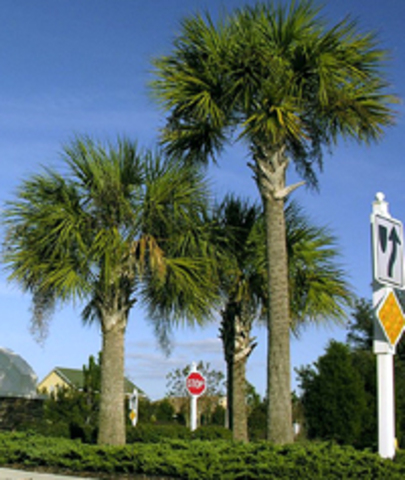 Cabbage Palmetto becomes state tree