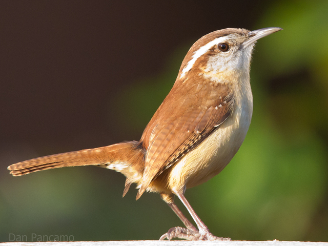 State bird is announced; Carolina Wren