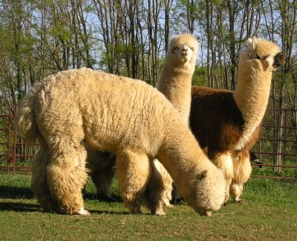 Alpacas join the Inca Empire