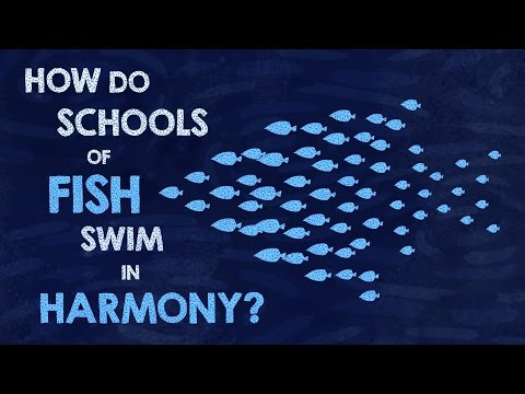 How do schools of fish swim in harmony? - Nathan S. Jacobs thumbnail