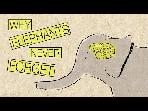 Why elephants never forget - Alex Gendler thumbnail