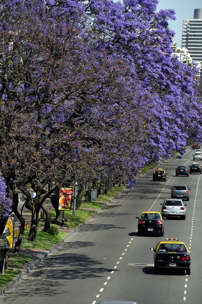 Jacaranda tree in full bloom near Palermo Park_212397487