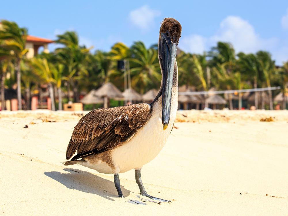 brown pelican on mexican beach in Playa del Carmen_223155565