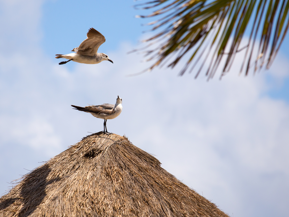 Seagulls on thatched roof in Playa del Carmen_188488622