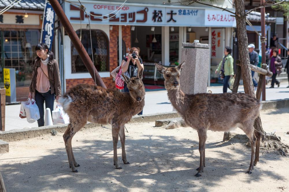 Deers in Miyajima Island (Itsukushima)_271304498