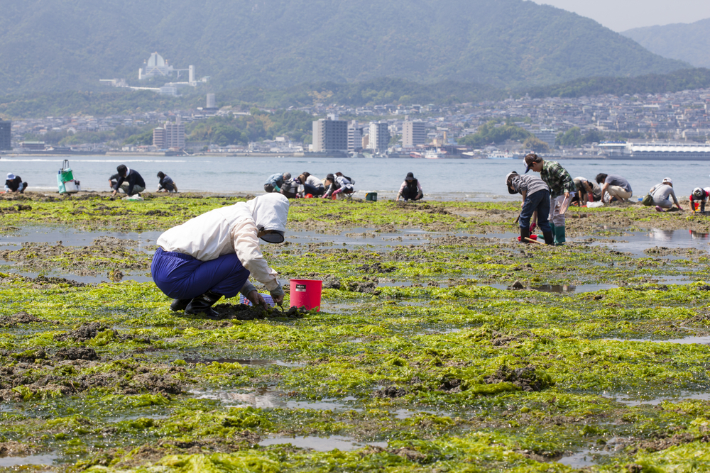hellfish at low tide on the shoreline of Miyajima_129689564