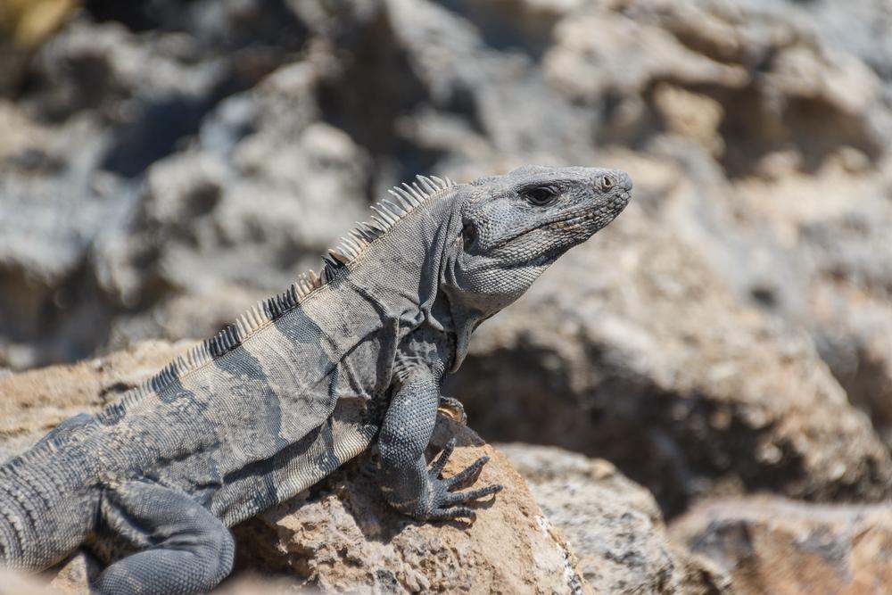 Iguana on the rocks of Isla Mujeres_384440980