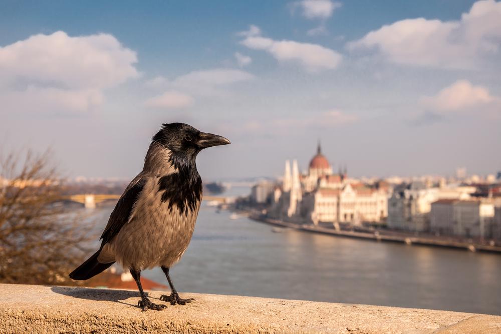 Grey Raven_381883204