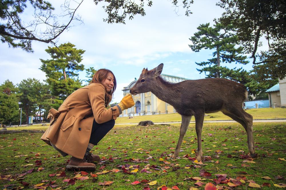 The fall season of Nara city, Japan with nice yellowred color_408279256