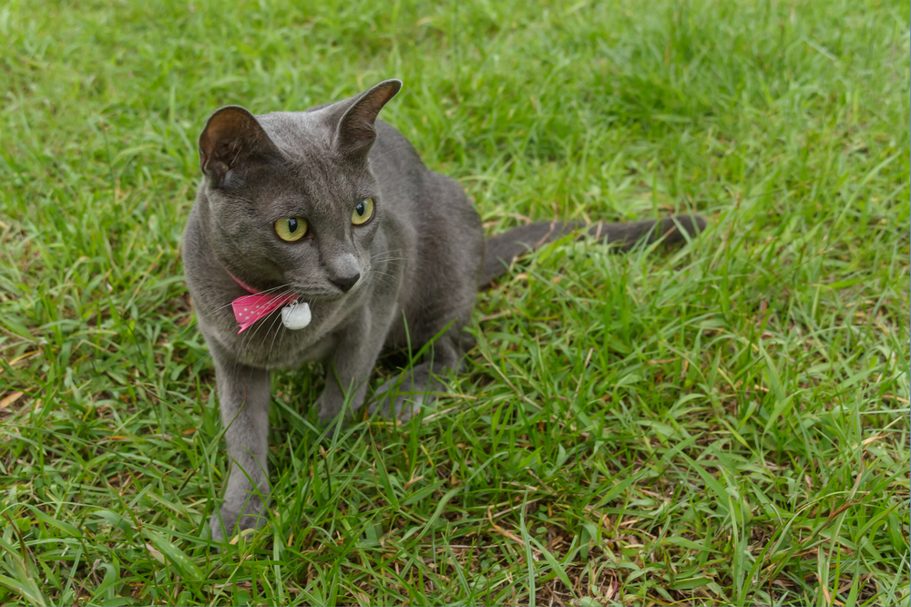 Sisawat , a silver-blue color cat from Thailand_195795206