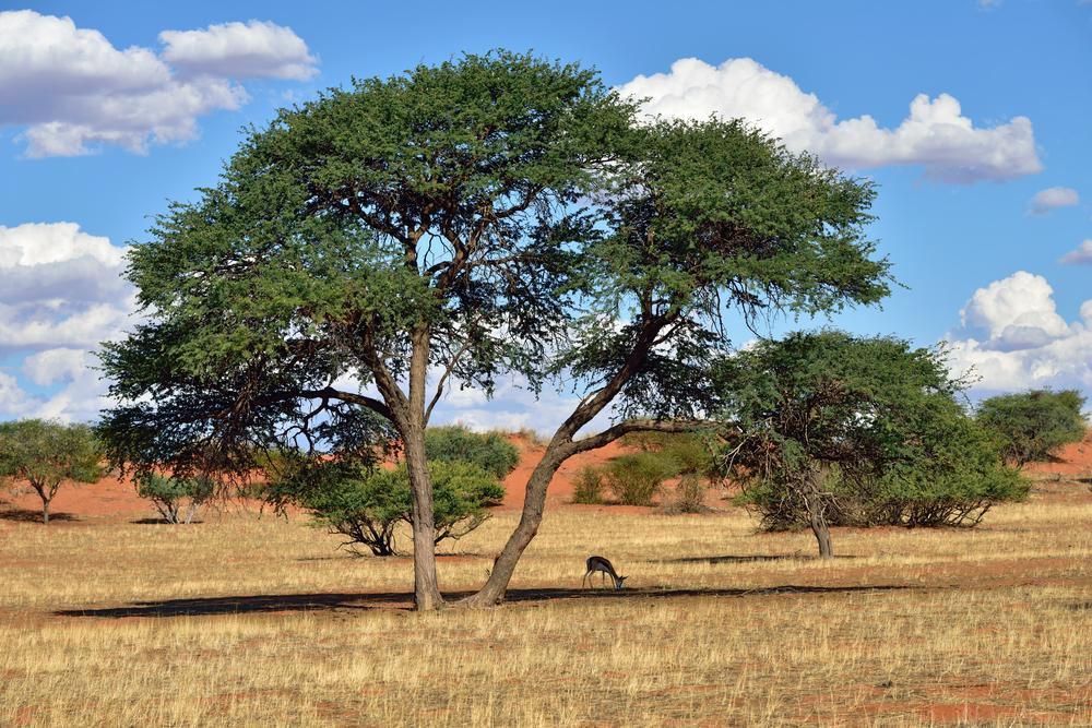 antelope sprigbok in the Kalahari desert _378002536