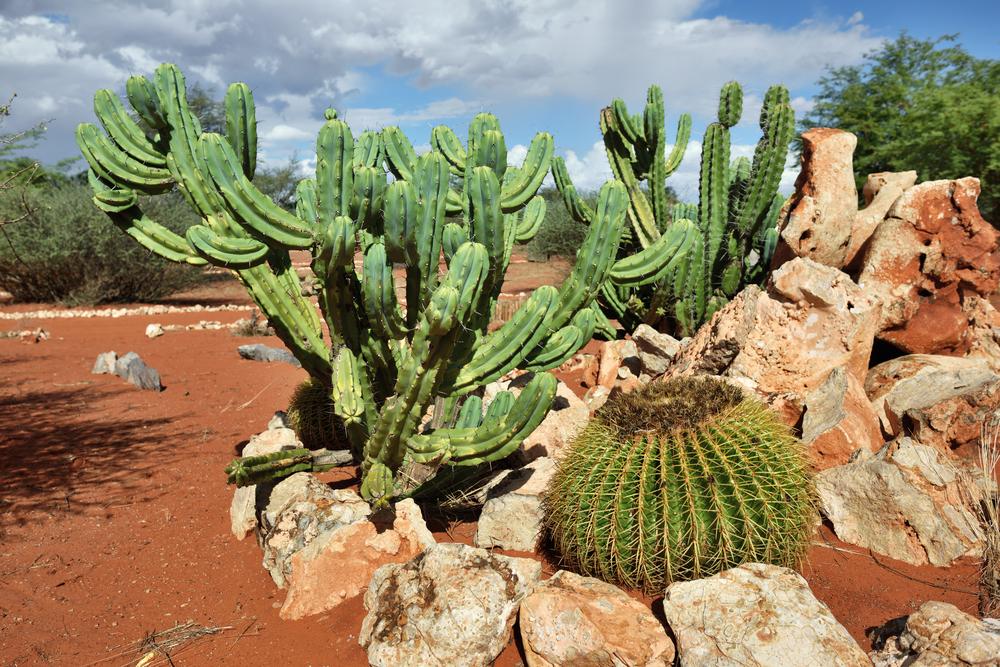 tropical cactus in garden, Namibia_379288339