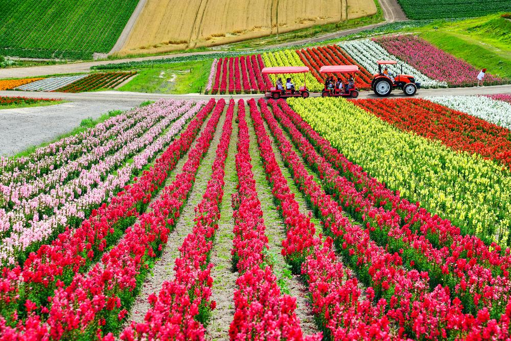 Colorful flower field at Shikisai-no-oka, Biei_456878647
