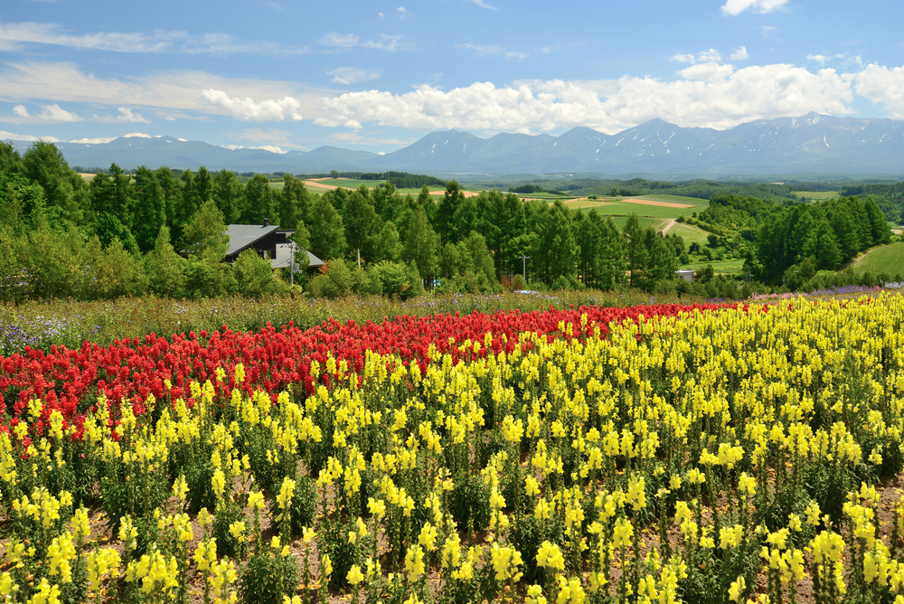 Snapdragon (Antirrhinum majus) field at Shikisai park _151279055