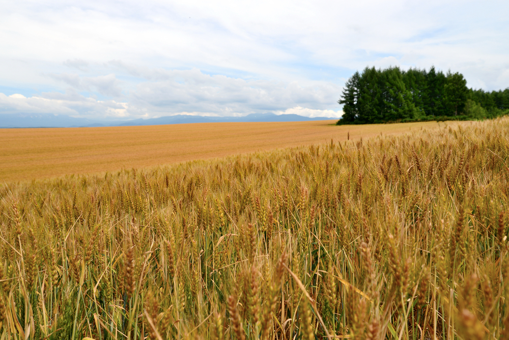 Wheat field in Biei_152288387