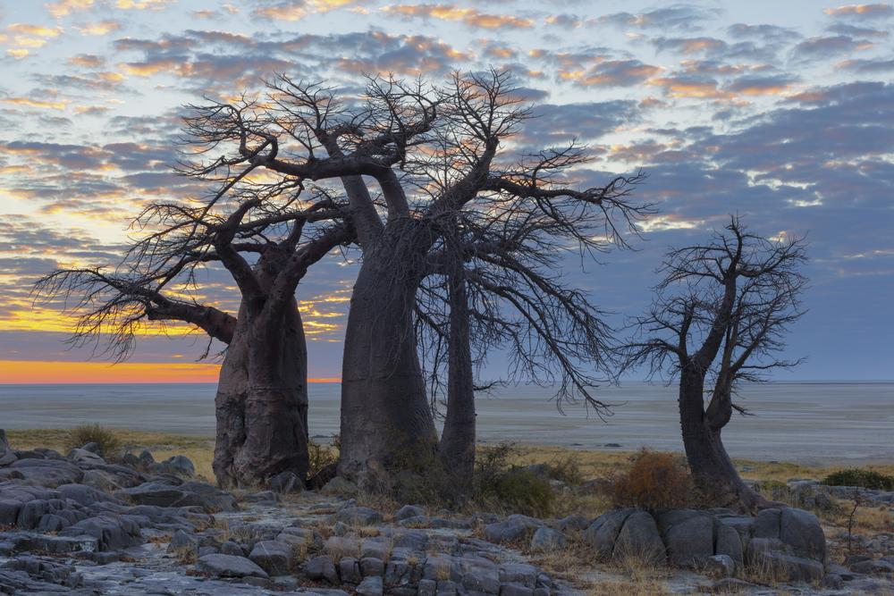 baobab-tree_499858504