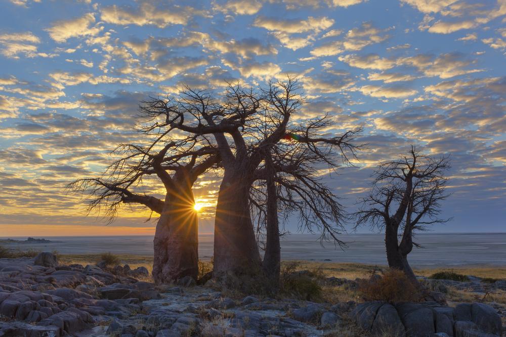 sunrise-at-kubu-island-baobab_483678481