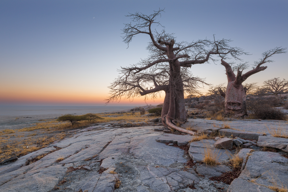 baobab-trees-at-kubu-island_398515138
