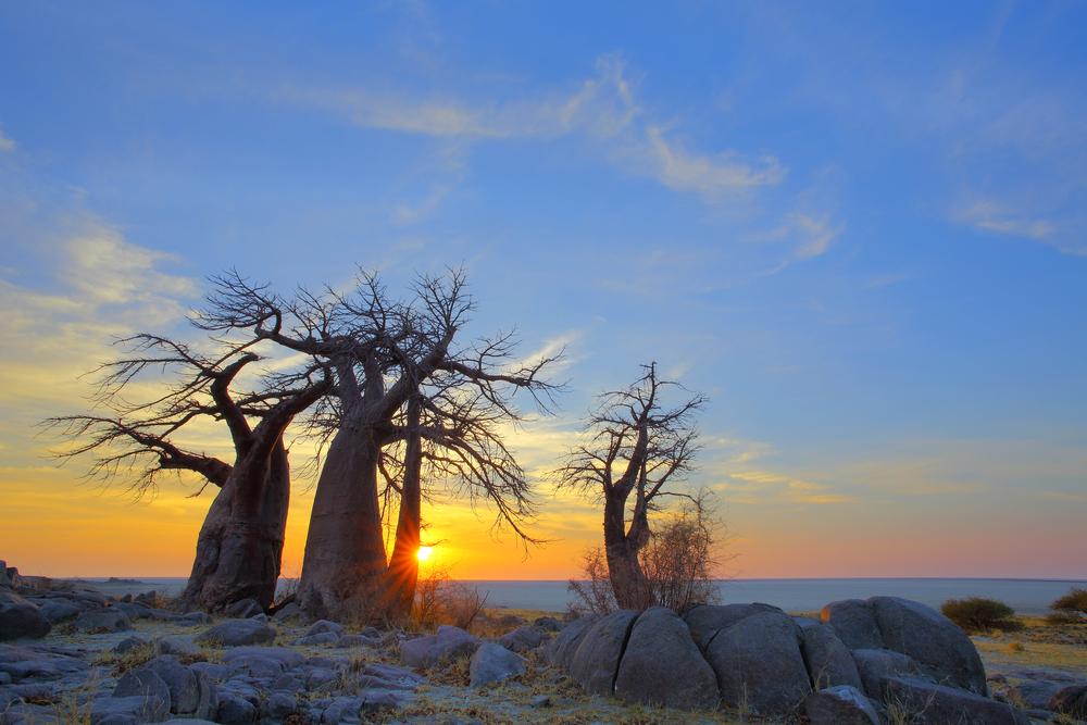 baobab-at-sunrise-on-kubu-island_183209363