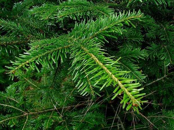 Silver Fir (Abies Alba) http://www.sagebud.com/silver-fir-abies-alba