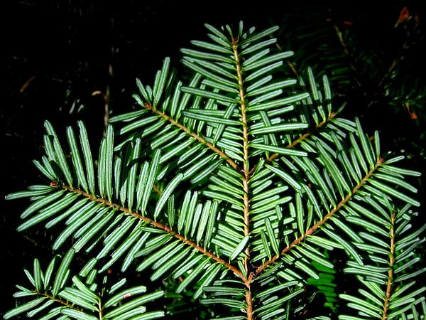 Pacific Silver Fir (Abies Amabilis) http://www.sagebud.com/pacific-silver-fir-abies-amabilis
