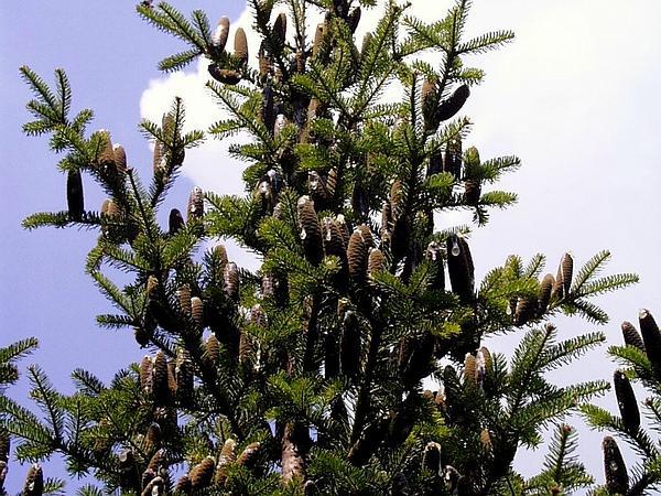 Balsam Fir (Abies Balsamea) http://www.sagebud.com/balsam-fir-abies-balsamea