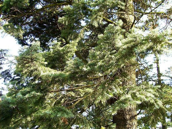 White Fir (Abies Concolor) http://www.sagebud.com/white-fir-abies-concolor