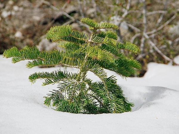 White Fir (Abies Concolor) http://www.sagebud.com/white-fir-abies-concolor